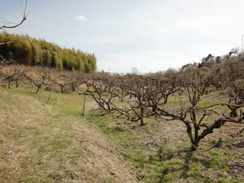 柿畑下から.jpg
